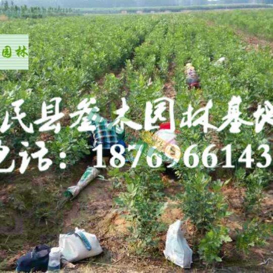 果树及绿化苗木嫁接服务