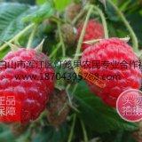 20-30公分高中林4号双季红树莓苗 树莓苗价格基地批发