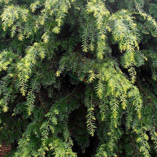 20公分红豆杉绿化苗