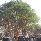 嘉宝果 树葡萄