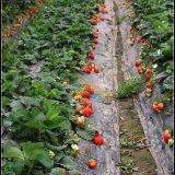 山东草莓苗批发,妙香七号草莓苗价格