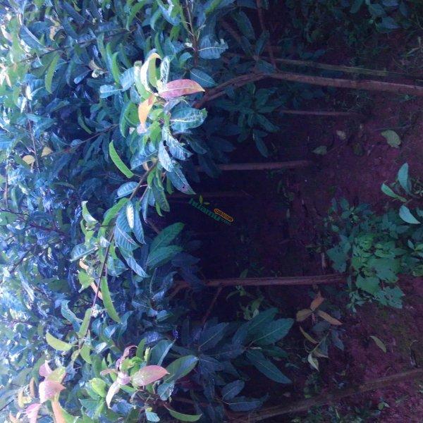 處理1500棵黃角樹