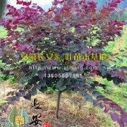 紫叶加拿大紫荆