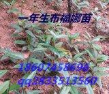 布福娜黑老虎树苗供应