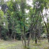 茶条槭/四川茶条槭/茶条牙/茶条子
