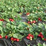 脱毒草莓苗 优质高产草莓苗 甜查理草莓苗