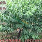 阳山水蜜桃树