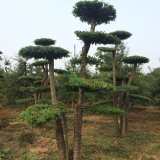 对节白蜡造型树15-25公分