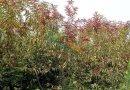 米径5公分红叶碧桃