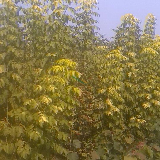 金叶复叶槭嫁接苗