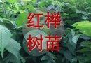 红榉树苗(当年苗),1.5元一棵