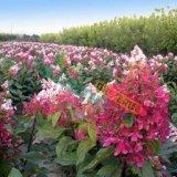 红花圆锥八仙花