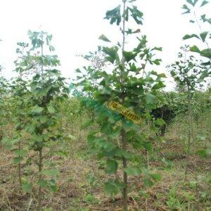 银杏树1-20公分