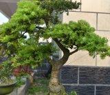 油杉/杜松