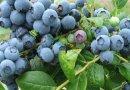 蓝莓苗,批发大量蓝莓苗