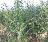 高度50-100公分青榨槭青皮椴
