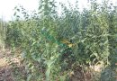 米径2公分青榨槭青皮椴