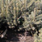 云杉20-50裸根苗木
