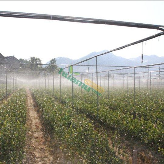 供应两年生优质油茶苗