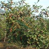 高产油茶树苗