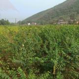 青檀树苗 绿化苗木