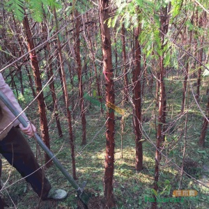 米径3公分水杉