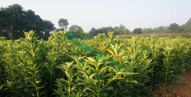 低價批發零售棱角山礬
