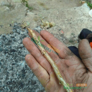 刺梨扦插枝条