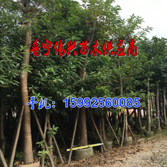 5-50公分黃桷樹