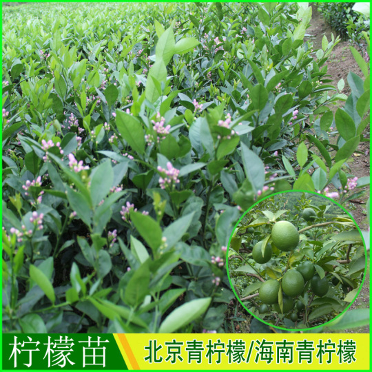 北京青柠檬苗海南青柠檬苗