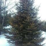 4米高云杉
