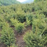 供应;云杉1米以上高苗木