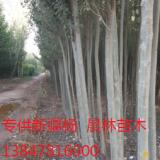 新疆杨树苗6公分