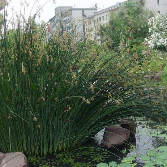 水生植物水葱花叶水葱苗净化水质