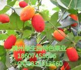 红参果种苗