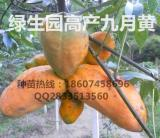 五叶木通九月黄金焦苗木供应