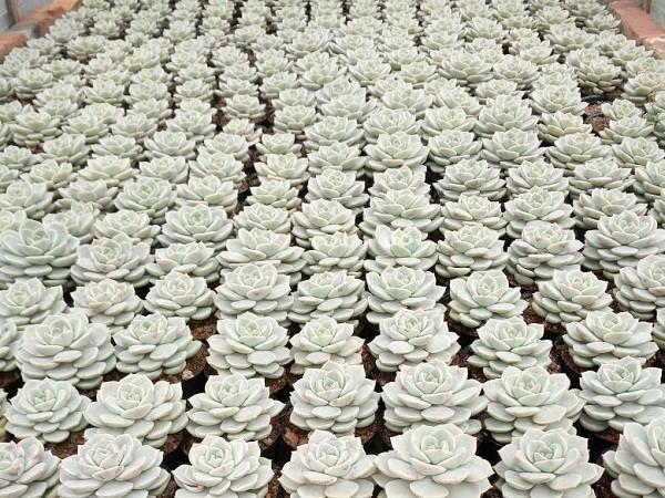 春季多肉植物白牡丹