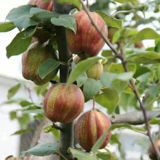 红香酥梨苗价格 红香酥梨苗基地批发 梨树苗
