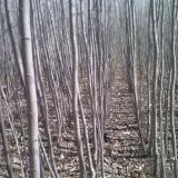 小城黑杨树