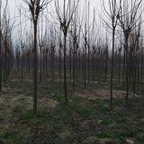 10公分楸树