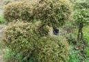 雀梅盆景木