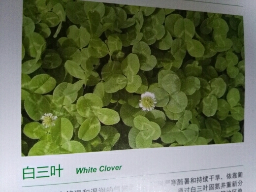 白三葉脫殼種子