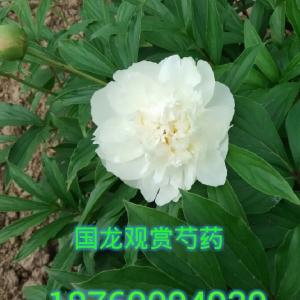 多层白芍药壮苗