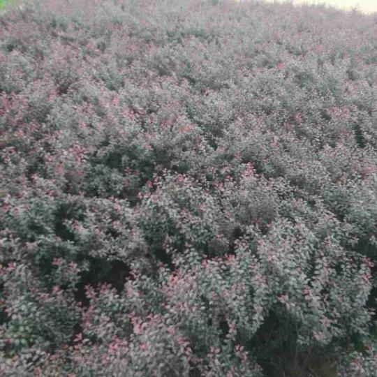 8畝地紫葉矮櫻,便宜處理