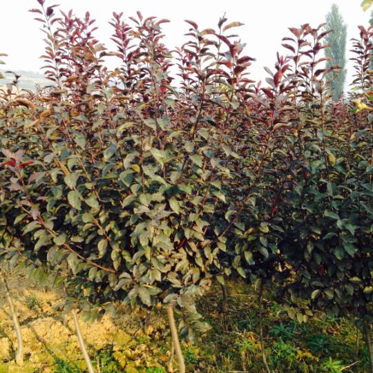 紫葉矮櫻綠化苗木銷售