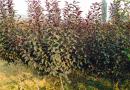 紫叶矮樱绿化苗木销售