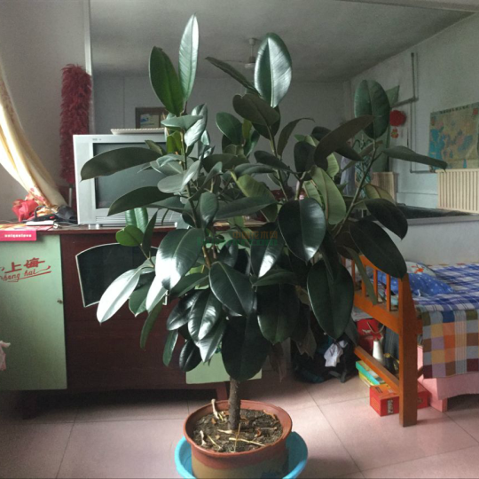 家養橡皮樹一顆