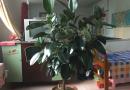 家养橡皮树一颗