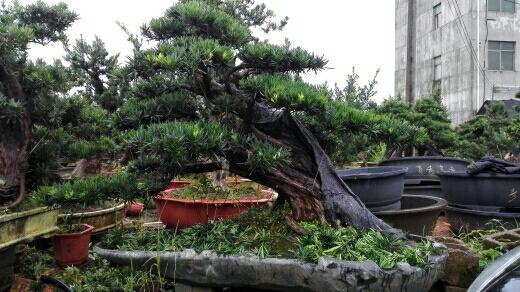 造型罗汉松盆景