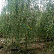 米径8公分垂柳树